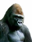 Charming-Gorilla-1